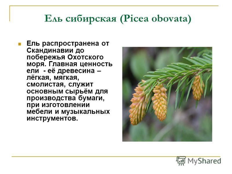 Ель сибирская (Picea obovata) Ель распространена от Скандинавии до побережья Охотского моря. Главная ценность ели - её древесина – лёгкая, мягкая, смолистая, служит основным сырьём для производства бумаги, при изготовлении мебели и музыкальных инстру