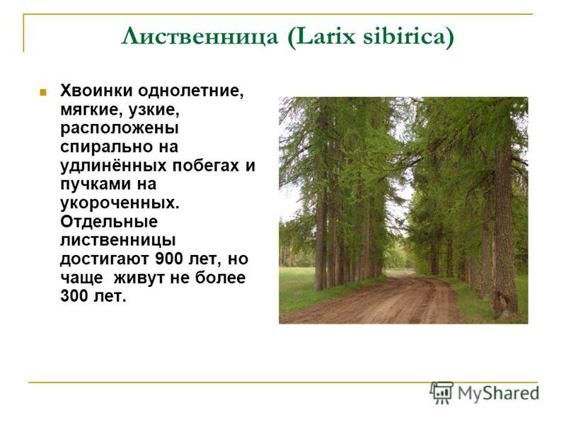 Лиственница (Larix sibirica) Хвоинки однолетние, мягкие, узкие, расположены спирально на удлинённых побегах и пучками на укороченных. Отдельные лиственницы достигают 900 лет, но чаще живут не более 300 лет.