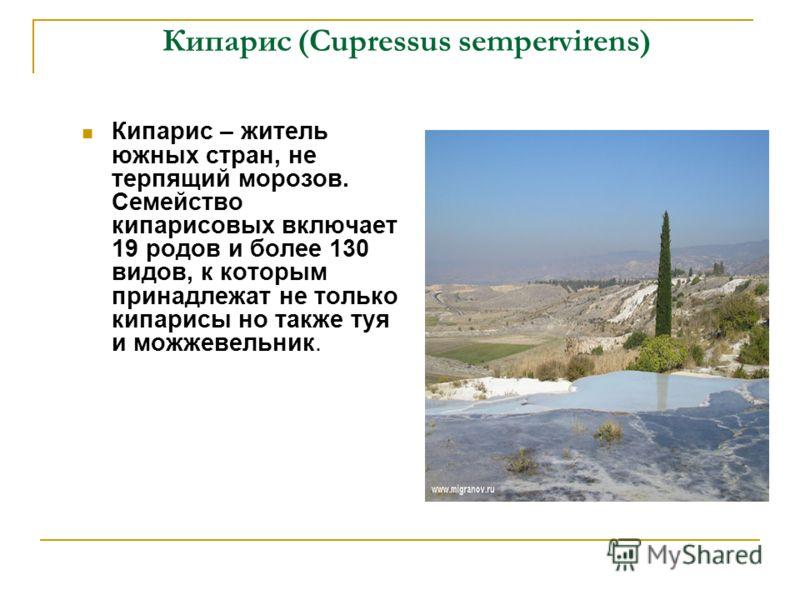 Кипарис (Cupressus sempervirens) Кипарис – житель южных стран, не терпящий морозов. Семейство кипарисовых включает 19 родов и более 130 видов, к которым принадлежат не только кипарисы но также туя и можжевельник.