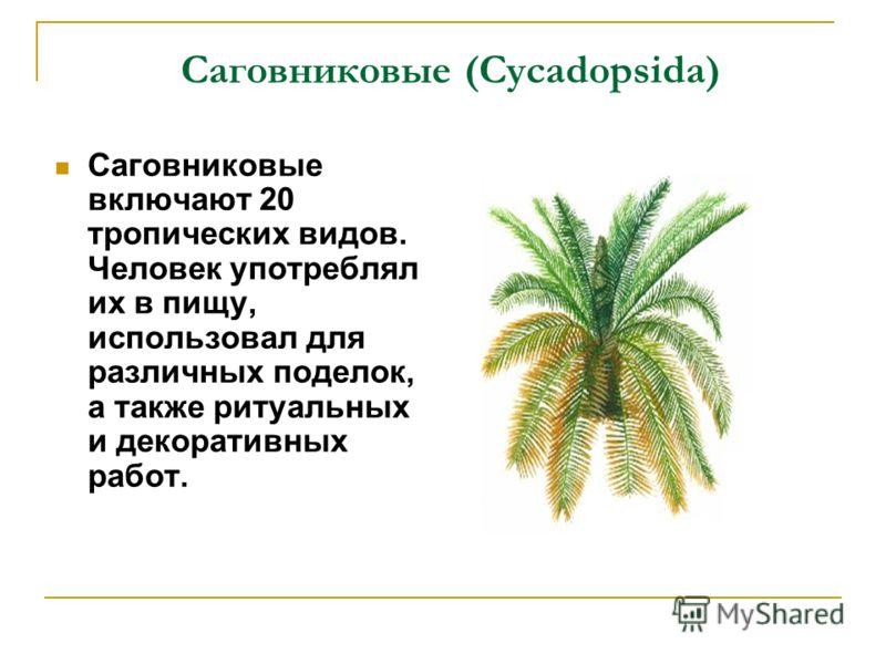 Саговниковые (Cycadopsida) Саговниковые включают 20 тропических видов. Человек употреблял их в пищу, использовал для различных поделок, а также ритуальных и декоративных работ.