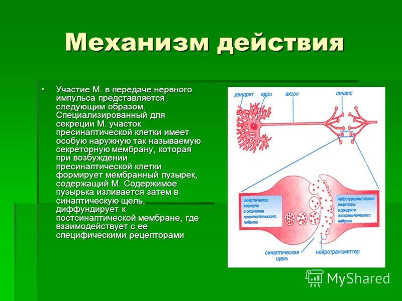 Механизм действия Участие М. в передаче нервного импульса представляется следующим образом. Специализированный для секреции М. участок пресинаптической клетки имеет особую наружную так называемую секреторную мембрану, которая при возбуждении пресинап