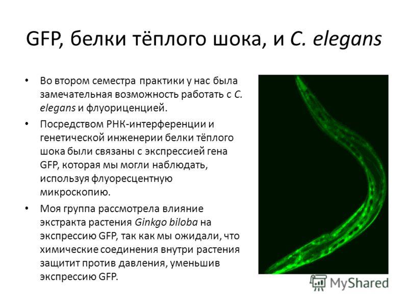 GFP, белки тёплого шока, и C. elegans Во втором семестра практики у нас была замечательная возможность работать с C. elegans и флуориценцией. Посредством РНК-интерференции и генетической инженерии белки тёплого шока были связаны с экспрессией гена GF
