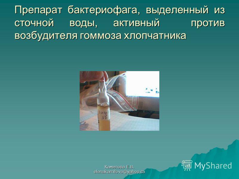 Камилова Е.В. elenakamilova@yahoo.ca Препарат бактериофага, выделенный из сточной воды, активный против возбудителя гоммоза хлопчатника