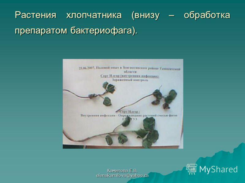 Камилова Е.В. elenakamilova@yahoo.ca Растения хлопчатника (внизу – обработка препаратом бактериофага).