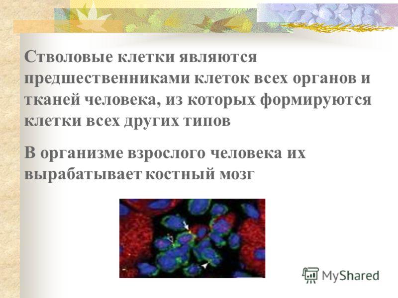 Стволовые клетки являются предшественниками клеток всех органов и тканей человека, из которых формируются клетки всех других типов В организме взрослого человека их вырабатывает костный мозг