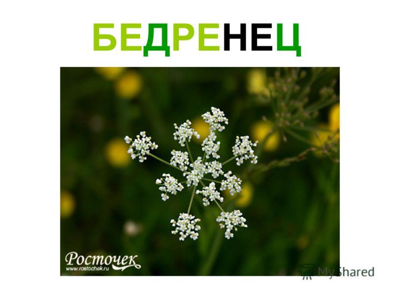 БЕДРЕНЕЦ