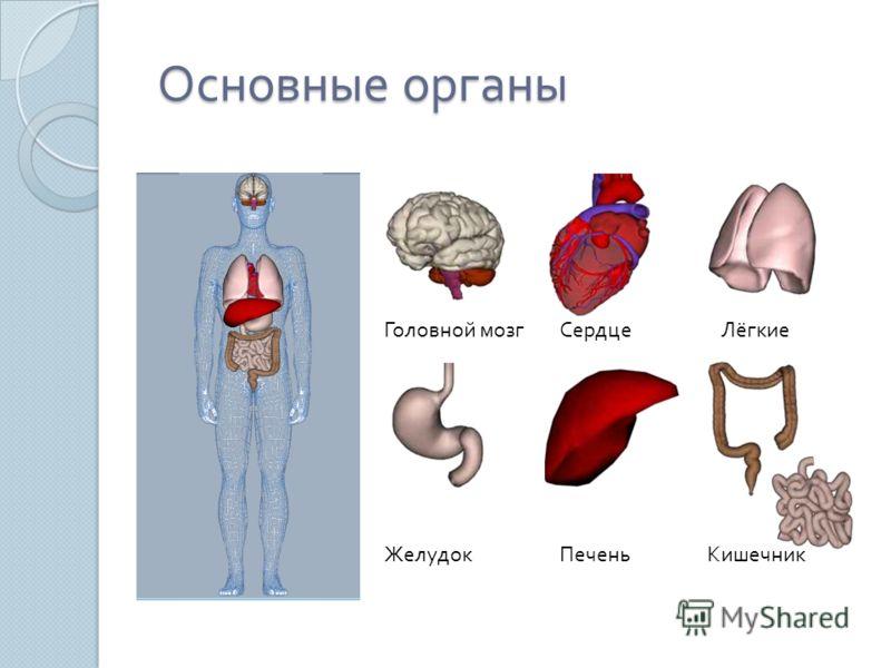 Основные органы Основные органы Головной мозгСердцеЛёгкие ЖелудокПеченьКишечник