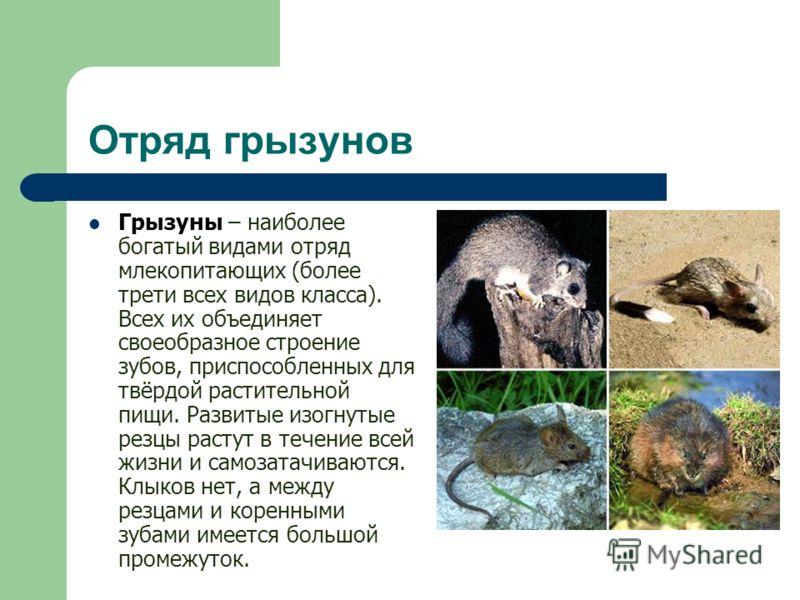 Отряд грызунов Грызуны – наиболее богатый видами отряд млекопитающих (более трети всех видов класса). Всех их объединяет своеобразное строение зубов, приспособленных для твёрдой растительной пищи. Развитые изогнутые резцы растут в течение всей жизни