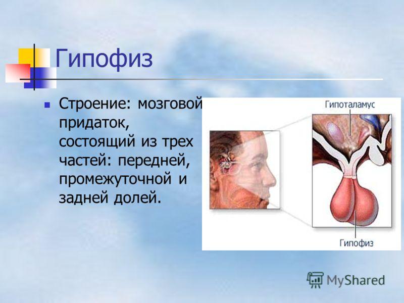 Гипофиз Строение: мозговой придаток, состоящий из трех частей: передней, промежуточной и задней долей.