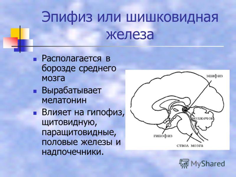 Эпифиз или шишковидная железа Располагается в борозде среднего мозга Вырабатывает мелатонин Влияет на гипофиз, щитовидную, паращитовидные, половые железы и надпочечники.
