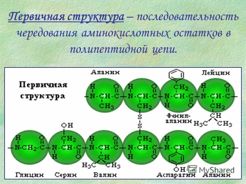 Первичная структура – последовательность чередования аминокислотных остатков в полипептидной цепи.