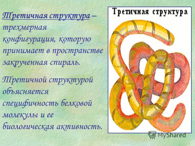 Третичная структура – трехмерная конфигурация, которую принимает в пространстве закрученная спираль. Третичной структурой объясняется специфичность белковой молекулы и ее биологическая активность.