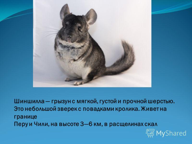 Шиншилла грызун с мягкой, густой и прочной шерстью. Это небольшой зверек с повадками кролика. Живет на границе Перу и Чили, на высоте 36 км, в расщелинах скал