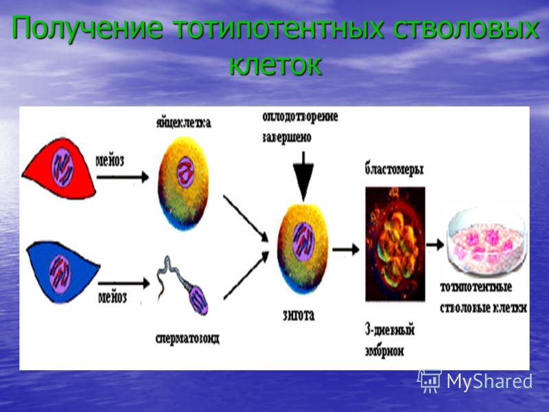 Получение тотипотентных стволовых клеток