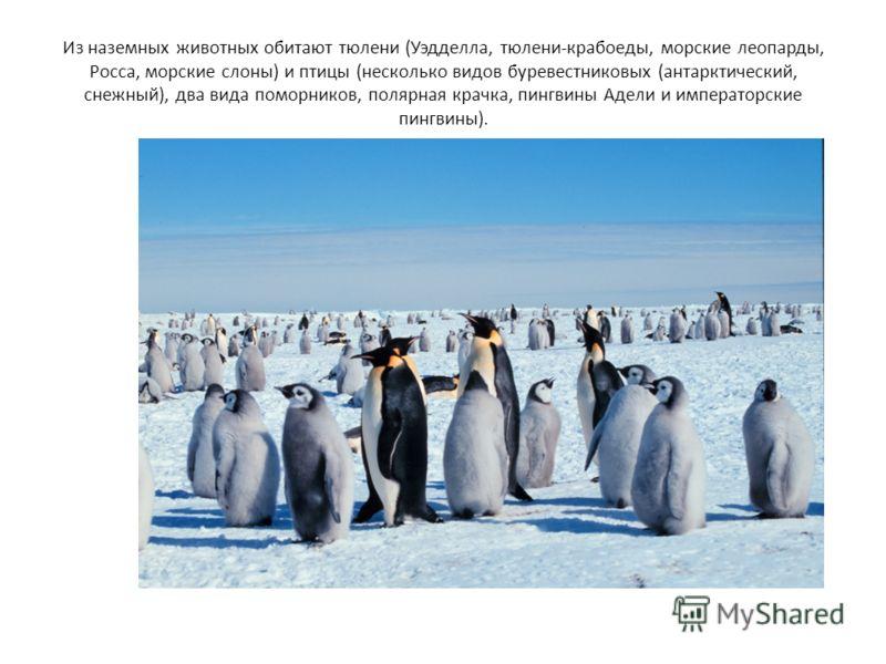 Из наземных животных обитают тюлени (Уэдделла, тюлени-крабоеды, морские леопарды, Росса, морские слоны) и птицы (несколько видов буревестниковых (антарктический, снежный), два вида поморников, полярная крачка, пингвины Адели и императорские пингвины)