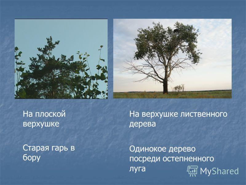 На плоской верхушке Старая гарь в бору На верхушке лиственного дерева Одинокое дерево посреди остепненного луга