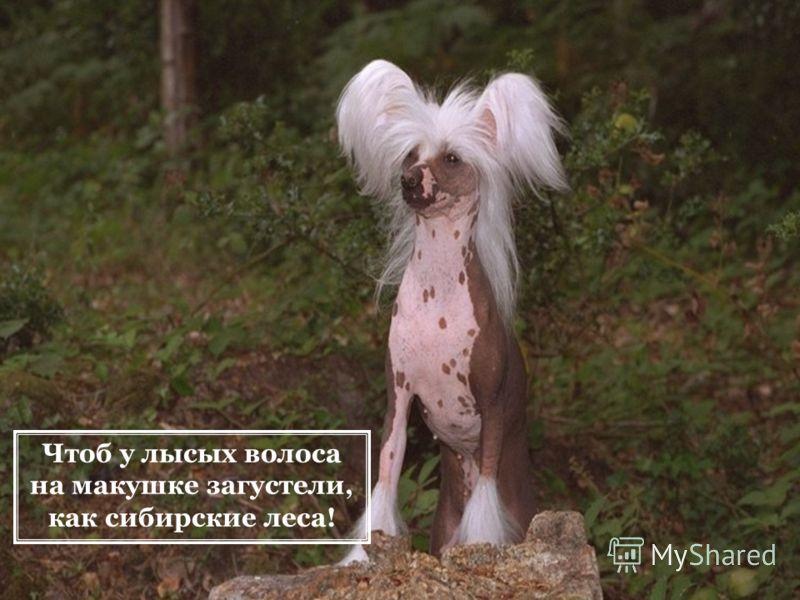 Чтоб у лысых волоса на макушке загустели, как сибирские леса!