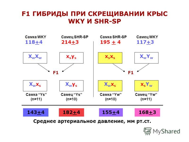 F1 ГИБРИДЫ ПРИ СКРЕЩИВАНИИ КРЫС WKY И SHR-SP Самка WKY 118+4 Самец SHR-SP 214+3 Самка SHR-SP 195 + 4 Самец WKY 117+3 Самка Ys (n=11) Самец Ys (n=10) Самка Yw (n=10) Самец Yw (n=11) ХwXwХwXw xsysxsys F1 ХwxsХwxs XwysXwys xsxsxsxs XwYwXwYw ХwxsХwxs xsY