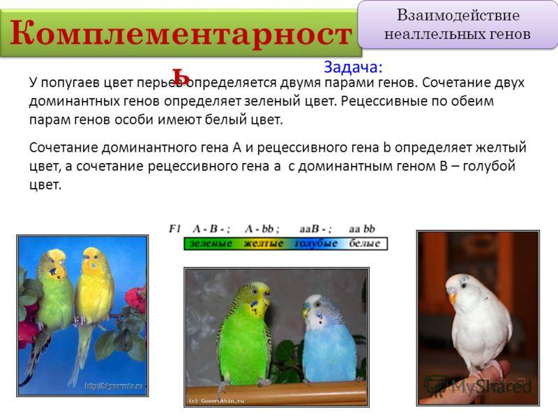 У попугаев цвет перьев определяется двумя парами генов. Сочетание двух доминантных генов определяет зеленый цвет. Рецессивные по обеим парам генов особи имеют белый цвет. Сочетание доминантного гена А и рецессивного гена b определяет желтый цвет, а с
