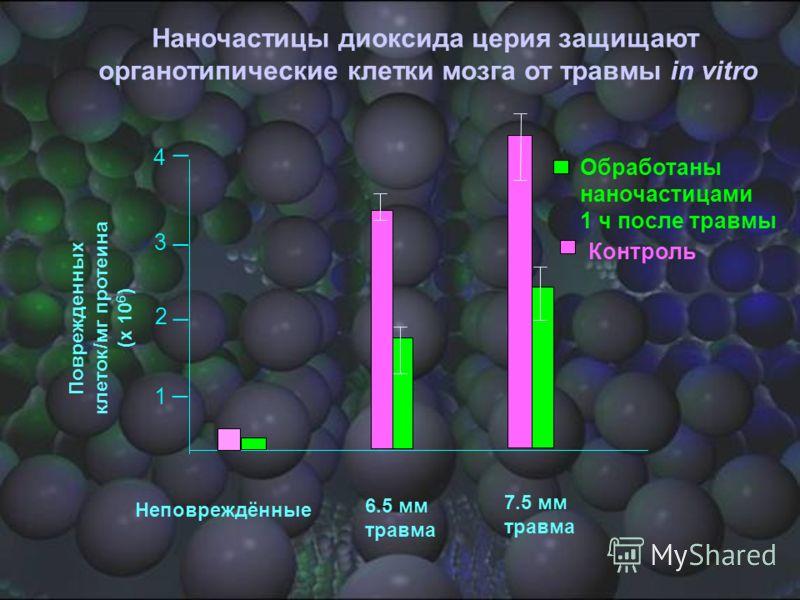 Обработаны наночастицами 1 ч после травмы Неповреждённые 6.5 мм травма 7.5 мм травма Наночастицы диоксида церия защищают органотипические клетки мозга от травмы in vitro _ _ _ _ 4 1 2 3 Контроль Поврежденных клеток/мг протеина (x 10 6 )