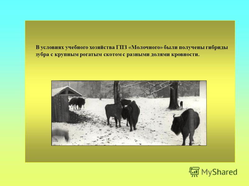В условиях учебного хозяйства ГПЗ «Молочного» были получены гибриды зубра с крупным рогатым скотом с разными долями кровности.