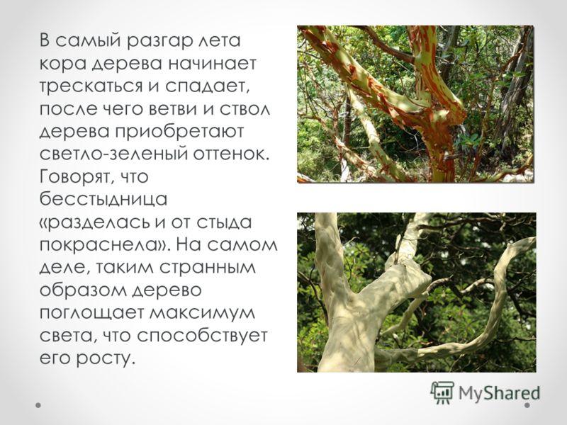 В самый разгар лета кора дерева начинает трескаться и спадает, после чего ветви и ствол дерева приобретают светло-зеленый оттенок. Говорят, что бесстыдница «разделась и от стыда покраснела». На самом деле, таким странным образом дерево поглощает макс