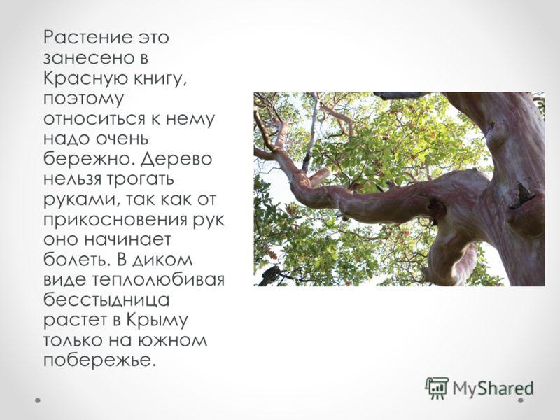 Растение это занесено в Красную книгу, поэтому относиться к нему надо очень бережно. Дерево нельзя трогать руками, так как от прикосновения рук оно начинает болеть. В диком виде теплолюбивая бесстыдница растет в Крыму только на южном побережье.