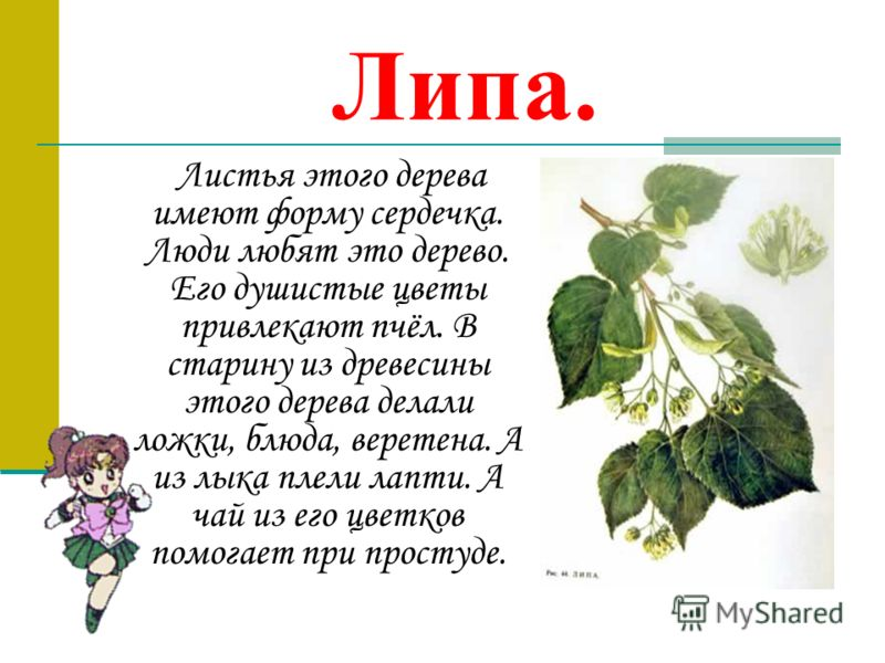 Липа. Листья этого дерева имеют форму сердечка. Люди любят это дерево. Его душистые цветы привлекают пчёл. В старину из древесины этого дерева делали ложки, блюда, веретена. А из лыка плели лапти. А чай из его цветков помогает при простуде.