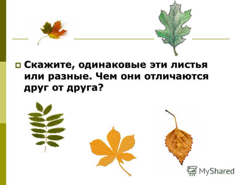 Скажите, одинаковые эти листья или разные. Чем они отличаются друг от друга? Скажите, одинаковые эти листья или разные. Чем они отличаются друг от друга?