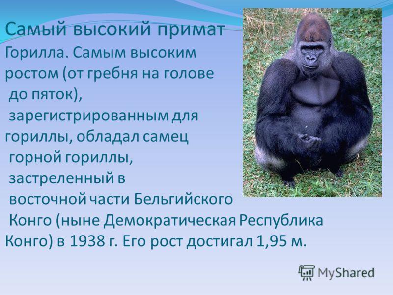 Самый высокий примат Горилла. Самым высоким ростом (от гребня на голове до пяток), зарегистрированным для гориллы, обладал самец горной гориллы, застреленный в восточной части Бельгийского Конго (ныне Демократическая Республика Конго) в 1938 г. Его р