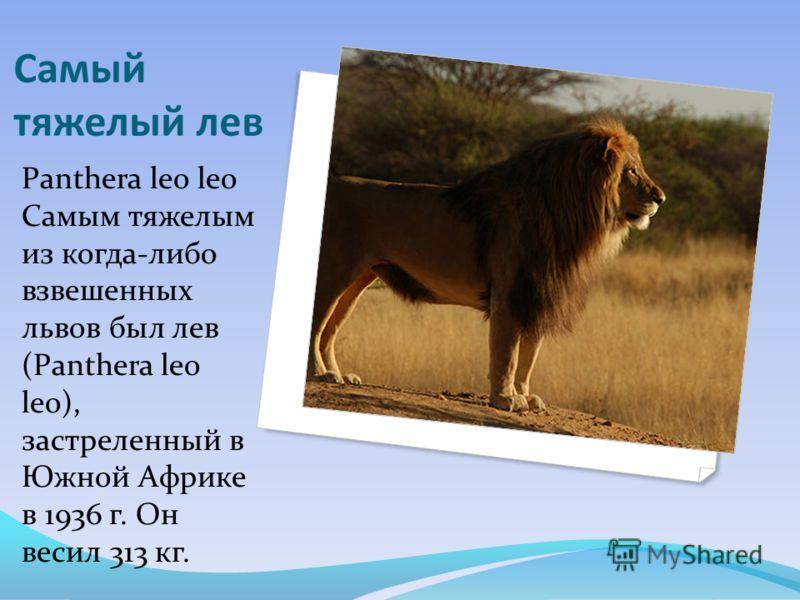 Самый тяжелый лев Panthera leo leo Самым тяжелым из когда-либо взвешенных львов был лев (Panthera leo leo), застреленный в Южной Африке в 1936 г. Он весил 313 кг.