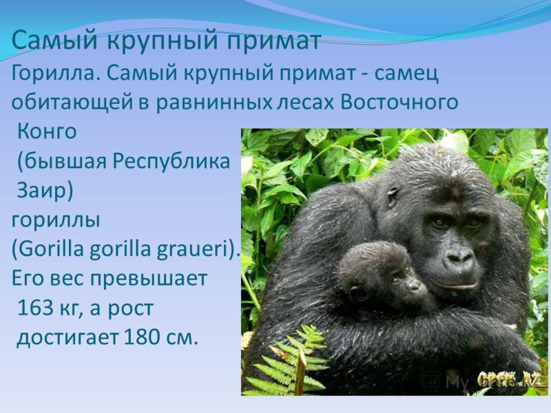 Самый крупный примат Горилла. Самый крупный примат - самец обитающей в равнинных лесах Восточного Конго (бывшая Республика Заир) гориллы (Gorilla gorilla graueri). Его вес превышает 163 кг, а рост достигает 180 см.