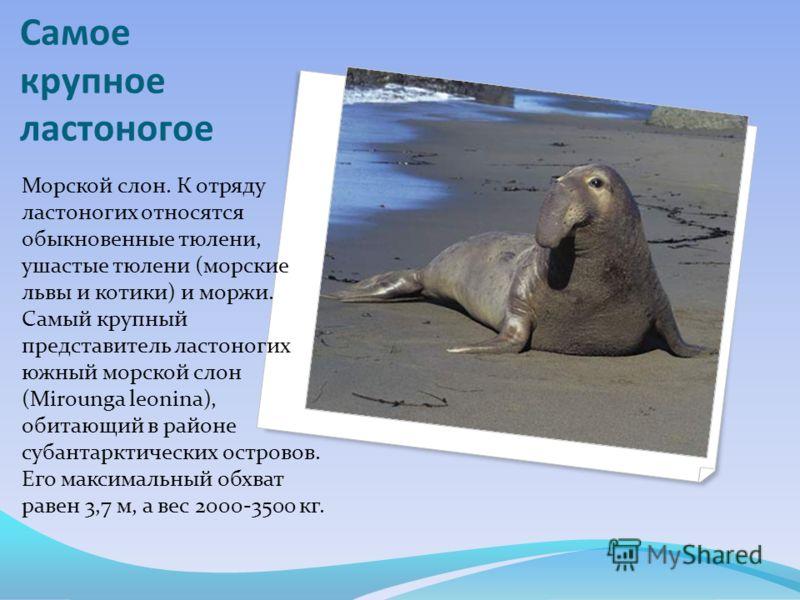 Самое крупное ластоногое Морской слон. К отряду ластоногих относятся обыкновенные тюлени, ушастые тюлени (морские львы и котики) и моржи. Самый крупный представитель ластоногих южный морской слон (Mirounga leonina), обитающий в районе субантарктическ