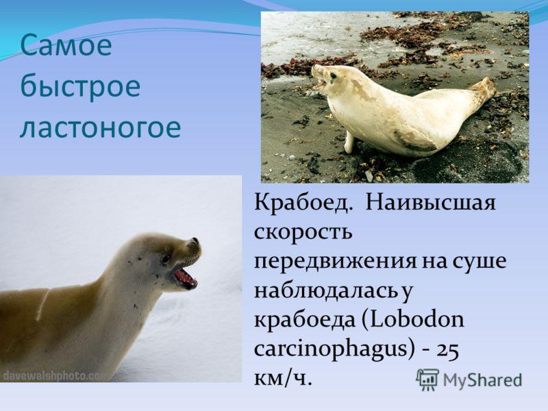 Самое быстрое ластоногое Крабоед. Наивысшая скорость передвижения на суше наблюдалась у крабоеда (Lobodon carcinophagus) - 25 км/ч.