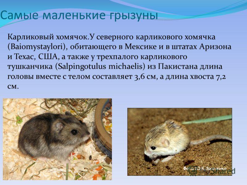 Самые маленькие грызуны Карликовый хомячок.У северного карликового хомячка (Baiomystaylori), обитающего в Мексике и в штатах Аризона и Техас, США, а также у трехпалого карликового тушканчика (Salpingotulus michaelis) из Пакистана длина головы вместе
