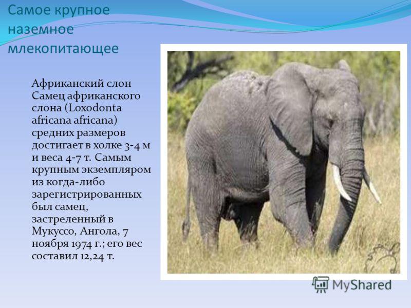 Самое крупное наземное млекопитающее Африканский слон Самец африканского слона (Loxodonta africana africana) средних размеров достигает в холке 3-4 м и веса 4-7 т. Самым крупным экземпляром из когда-либо зарегистрированных был самец, застреленный в М