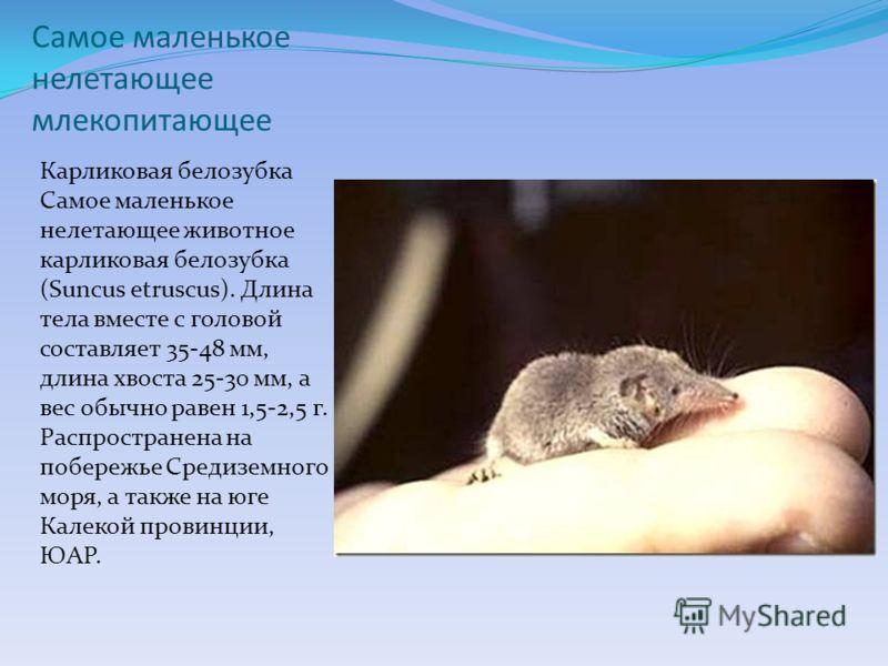 Самое маленькое нелетающее млекопитающее Карликовая белозубка Самое маленькое нелетающее животное карликовая белозубка (Suncus etruscus). Длина тела вместе с головой составляет 35-48 мм, длина хвоста 25-30 мм, а вес обычно равен 1,5-2,5 г. Распростра