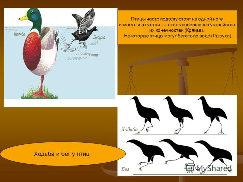 Птицы часто подолгу стоят на одной ноге и могут спать стоя столь совершенно устройство их конечностей (Кряква). Некоторые птицы могут бегать по воде (Лысуха). Ходьба и бег у птиц