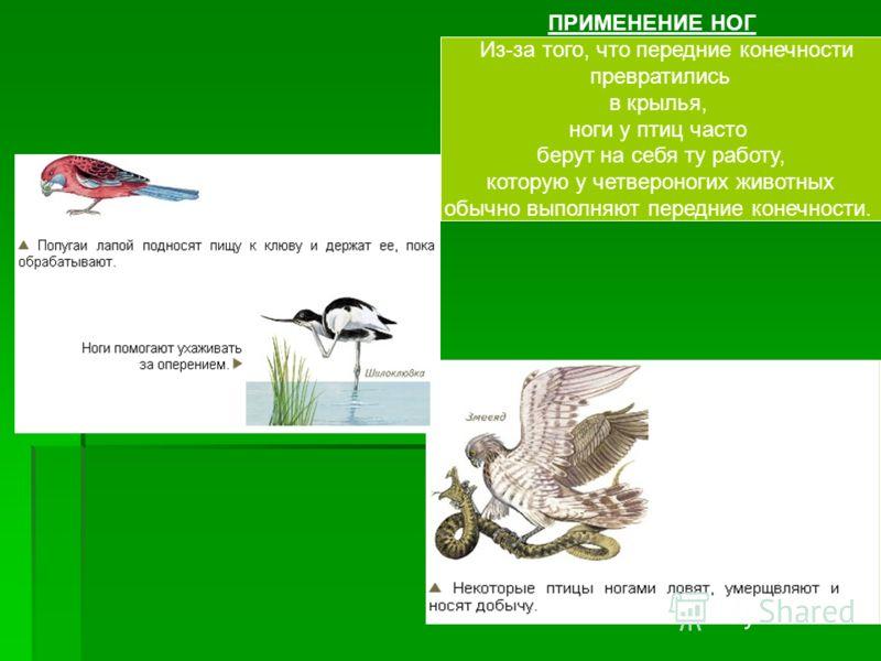 ПРИМЕНЕНИЕ НОГ Из-за того, что передние конечности превратились в крылья, ноги у птиц часто берут на себя ту работу, которую у четвероногих животных обычно выполняют передние конечности.