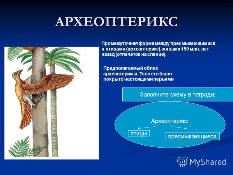 АРХЕОПТЕРИКС Промежуточная форма между пресмыкающимися и птицами (археоптерикс), жившая 150 млн. лет назад (отпечаток на сланце). Предполагаемый облик археоптерикса. Тело его было покрыто настоящими перьями Археоптерикс птицы пресмыкающиеся Заполните