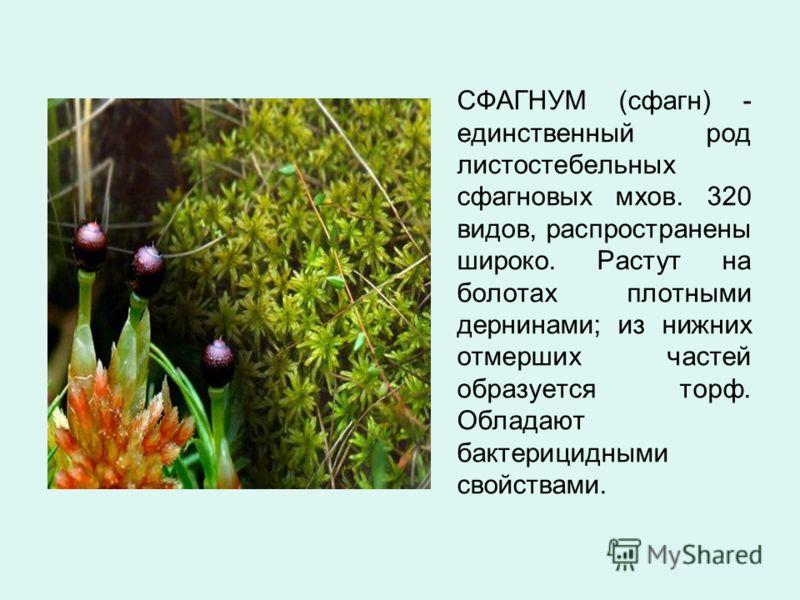 СФАГНУМ (сфагн) - единственный род листостебельных сфагновых мхов. 320 видов, распространены широко. Растут на болотах плотными дернинами; из нижних отмерших частей образуется торф. Обладают бактерицидными свойствами.