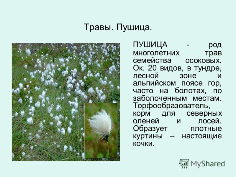 Травы. Пушица. ПУШИЦА - род многолетних трав семейства осоковых. Ок. 20 видов, в тундре, лесной зоне и альпийском поясе гор, часто на болотах, по заболоченным местам. Торфообразователь, корм для северных оленей и лосей. Образует плотные куртины – нас