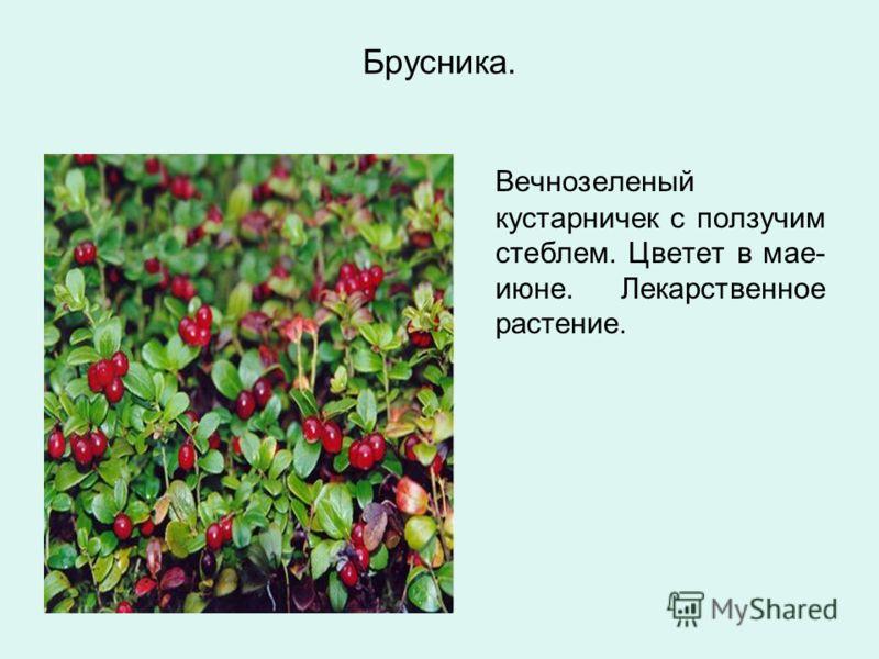 Брусника. Вечнозеленый кустарничек с ползучим стеблем. Цветет в мае- июне. Лекарственное растение.