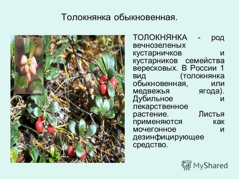 Толокнянка обыкновенная. ТОЛОКНЯНКА - род вечнозеленых кустарничков и кустарников семейства вересковых. В России 1 вид (толокнянка обыкновенная, или медвежья ягода). Дубильное и лекарственное растение. Листья применяются как мочегонное и дезинфицирую