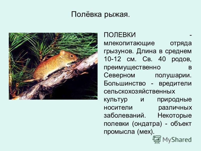Полёвка рыжая. ПОЛЕВКИ - млекопитающие отряда грызунов. Длина в среднем 10-12 см. Св. 40 родов, преимущественно в Северном полушарии. Большинство - вредители сельскохозяйственных культур и природные носители различных заболеваний. Некоторые полевки (