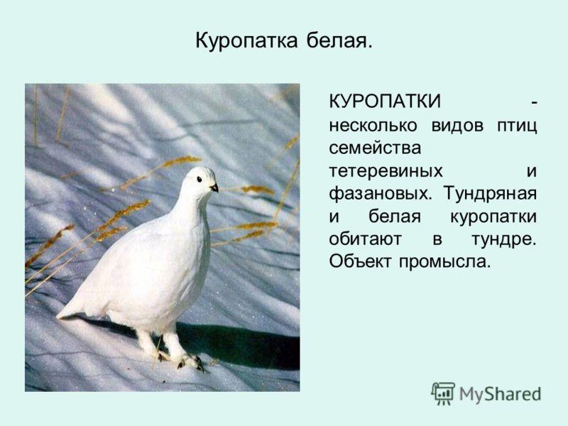 Куропатка белая. КУРОПАТКИ - несколько видов птиц семейства тетеревиных и фазановых. Тундряная и белая куропатки обитают в тундре. Объект промысла.