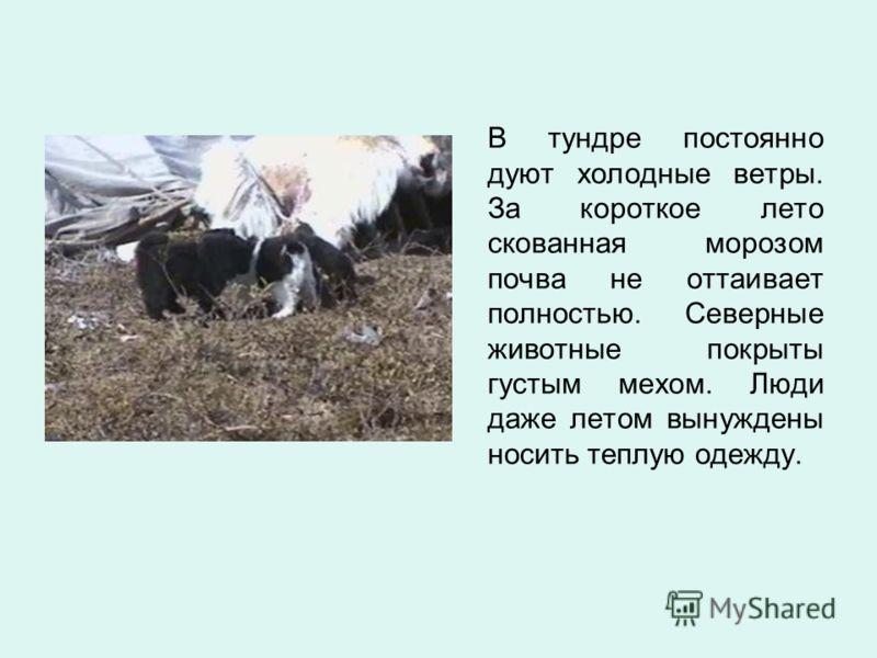 В тундре постоянно дуют холодные ветры. За короткое лето скованная морозом почва не оттаивает полностью. Северные животные покрыты густым мехом. Люди даже летом вынуждены носить теплую одежду.