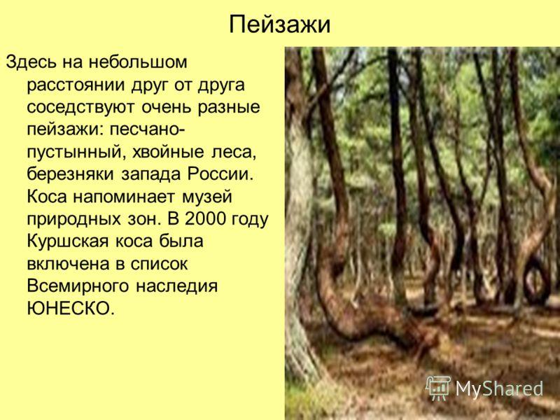 Пейзажи Здесь на небольшом расстоянии друг от друга соседствуют очень разные пейзажи: песчано- пустынный, хвойные леса, березняки запада России. Коса напоминает музей природных зон. В 2000 году Куршская коса была включена в список Всемирного наследия