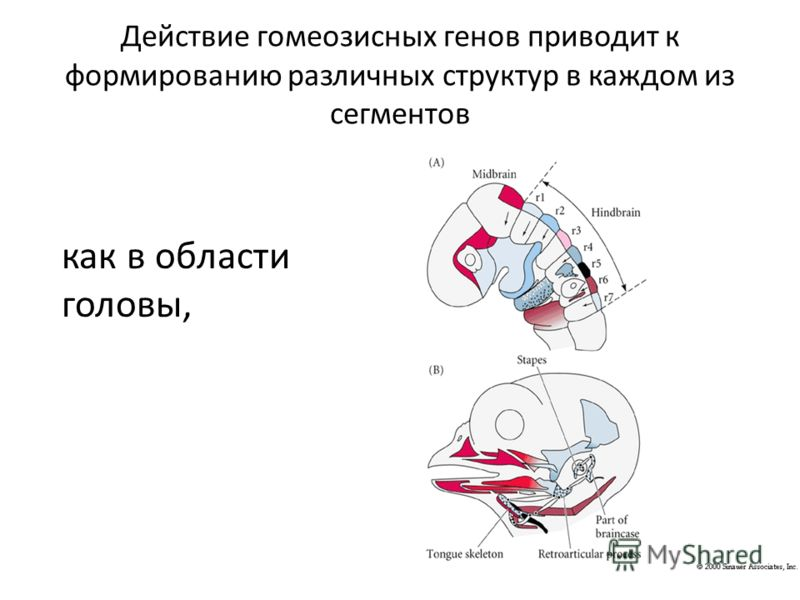 Действие гомеозисных генов приводит к формированию различных структур в каждом из сегментов как в области головы,