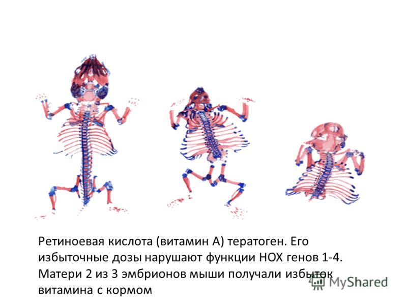 Ретиноевая кислота (витамин А) тератоген. Его избыточные дозы нарушают функции НОХ генов 1-4. Матери 2 из 3 эмбрионов мыши получали избыток витамина с кормом